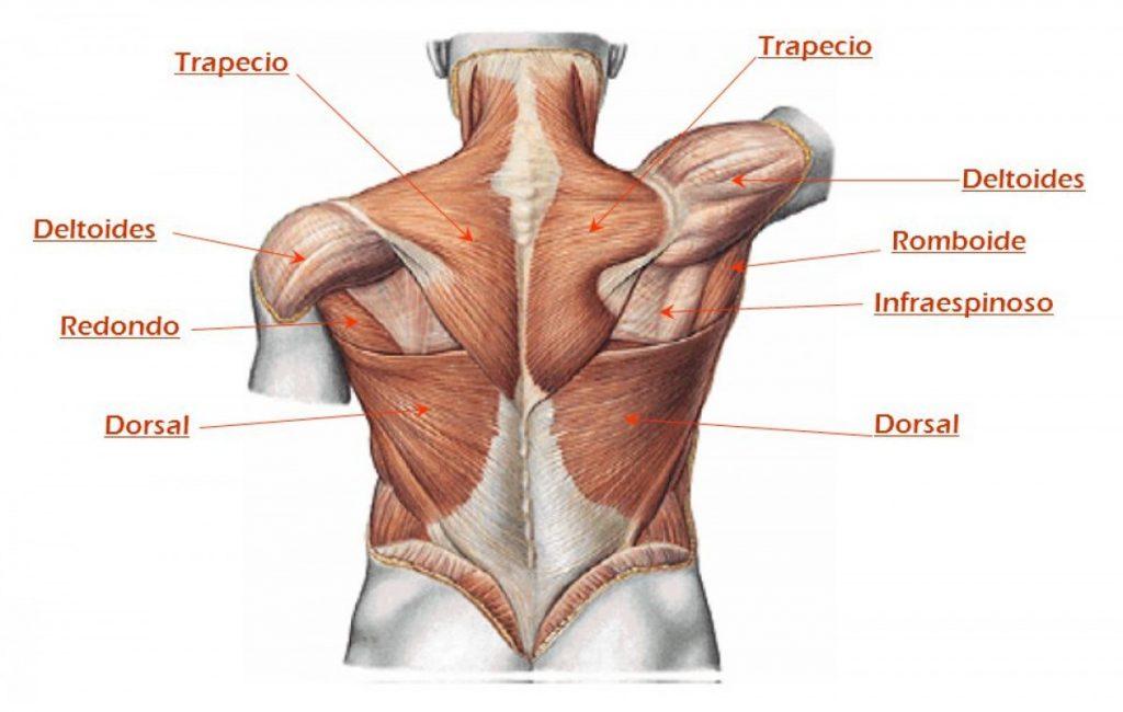 Hermosa Nombres Músculos De La Espalda Composición - Anatomía de Las ...